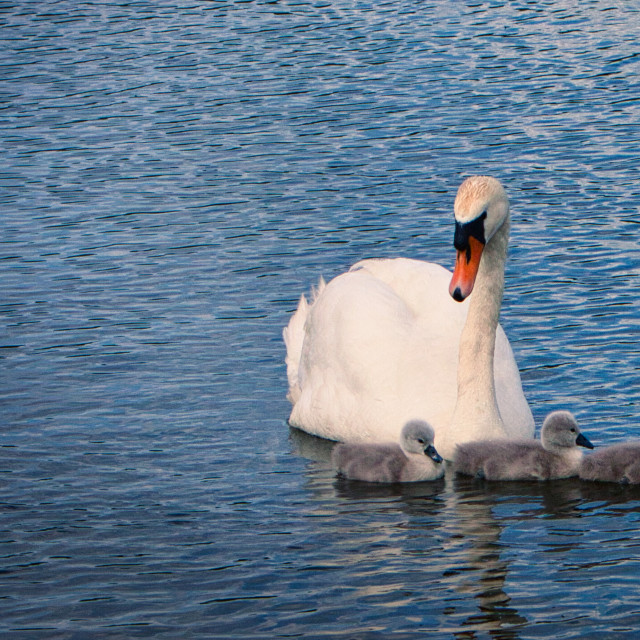 """Swan Family Portrait"" stock image"