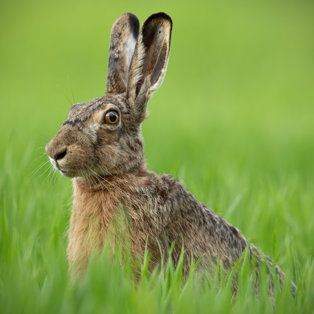 """""""Portrait of brown hare with clear blurred green background."""" stock image"""