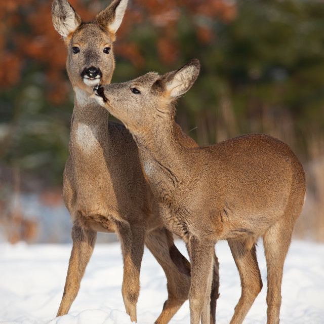 """""""Mother and son roe deer, capreolus capreolus, in deep snow in winter kissing."""" stock image"""
