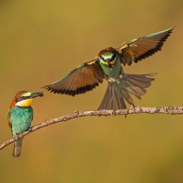 """Pair of european bee-eaters, merops apiaster with a catch."" stock image"