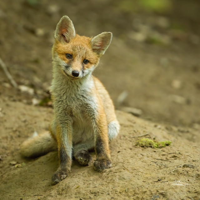 """""""Red fox, vulpes vulpes, cub in the forest near the burrow."""" stock image"""