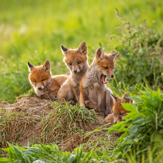 """""""Red fox, vulpes vulpes, small young cubs near den curiously weatching around"""" stock image"""