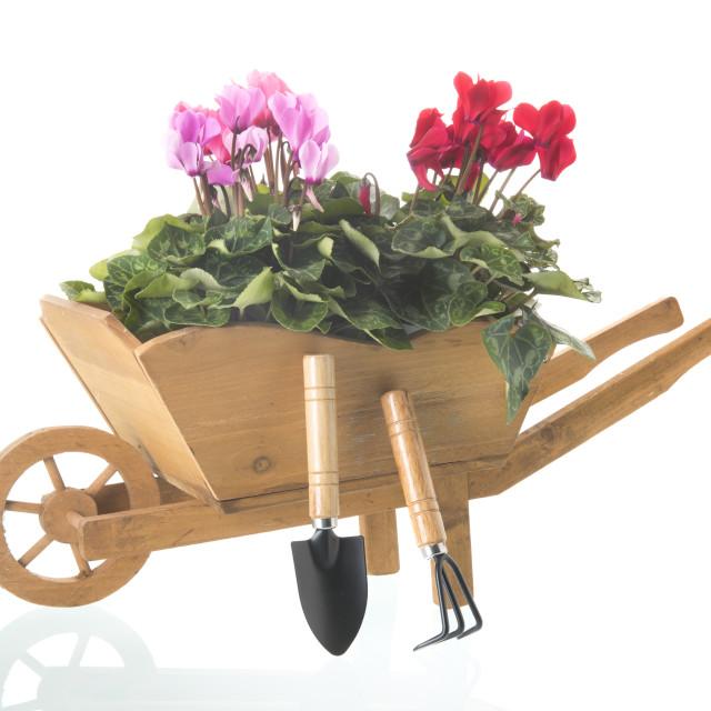 """Cyclamen in wheelbarrow"" stock image"