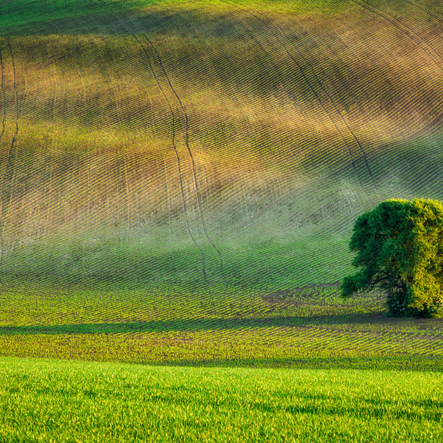 """""""Lonely tree in olling fields"""" stock image"""