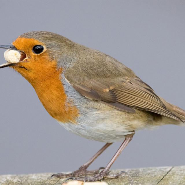 """Robin eating a suet pellet"" stock image"