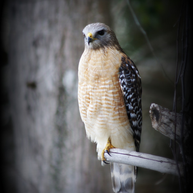 """RED SHOULDERED RED TAIL HAWK"" stock image"