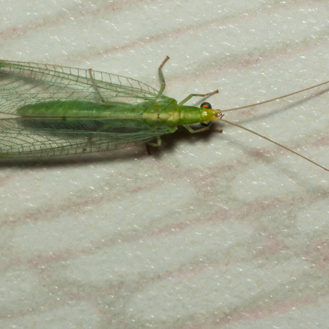 """Common green lacewing (Chrysoperla carnea)"" stock image"