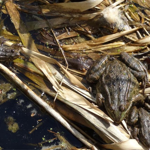 """Three marsh frogs"" stock image"
