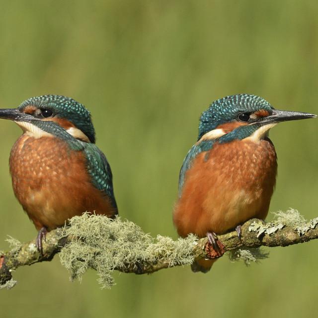 """Kingfisher Siblings"" stock image"