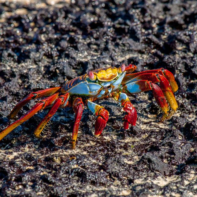 """sally lightfoot crab"" stock image"