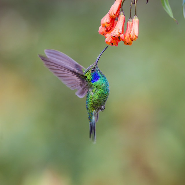 """Lesser Violetear hovering at a flower"" stock image"