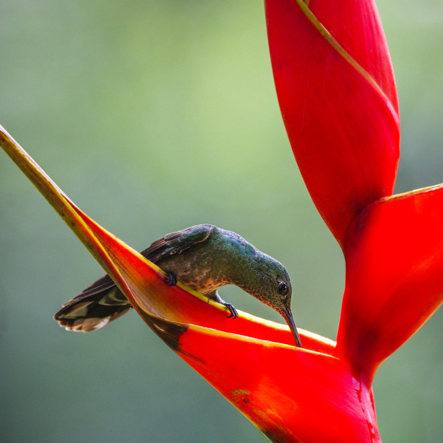 """Scaly-breasted Sabrewing drinking from a Heliconia"" stock image"