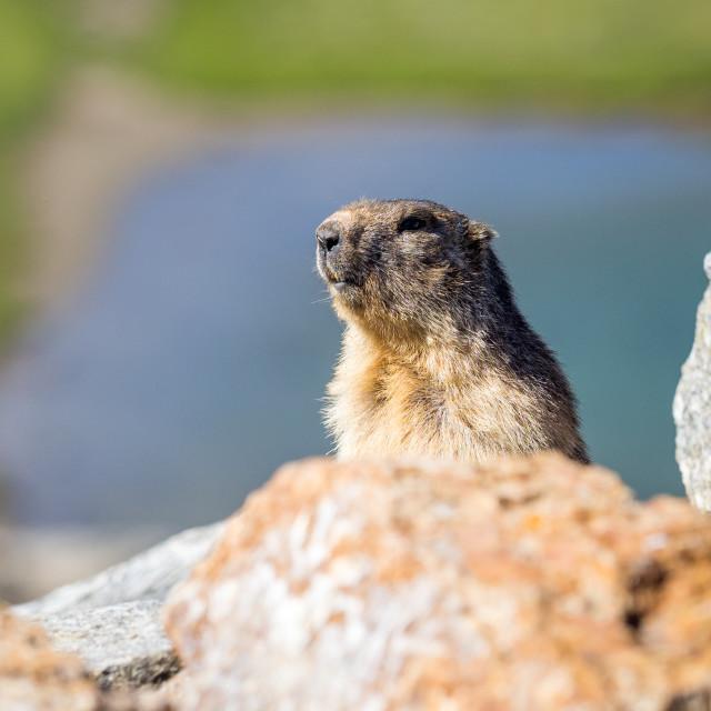 """""""Marmot (marmota marmota) looking around"""" stock image"""