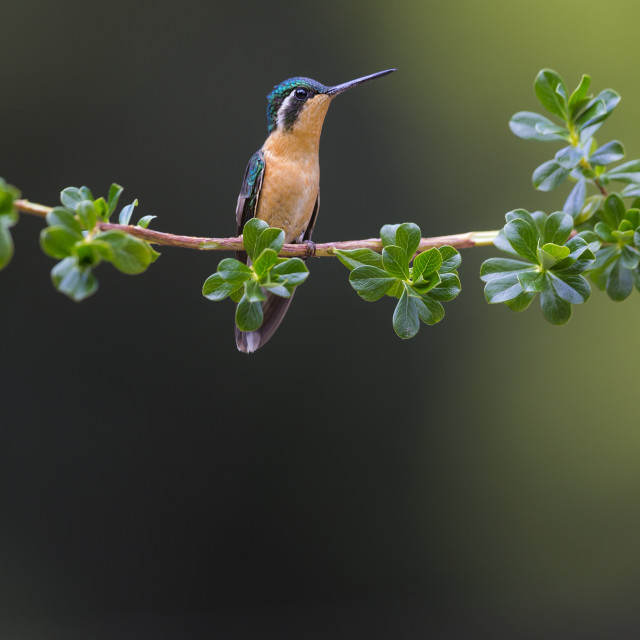 """""""Grey-tailed Mountain-Gem Hummingbird"""" stock image"""