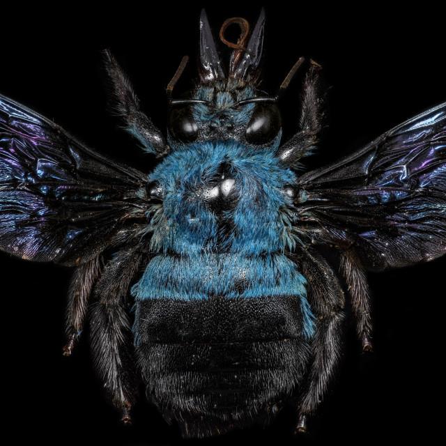 """Blue Carpenter Bee"" stock image"