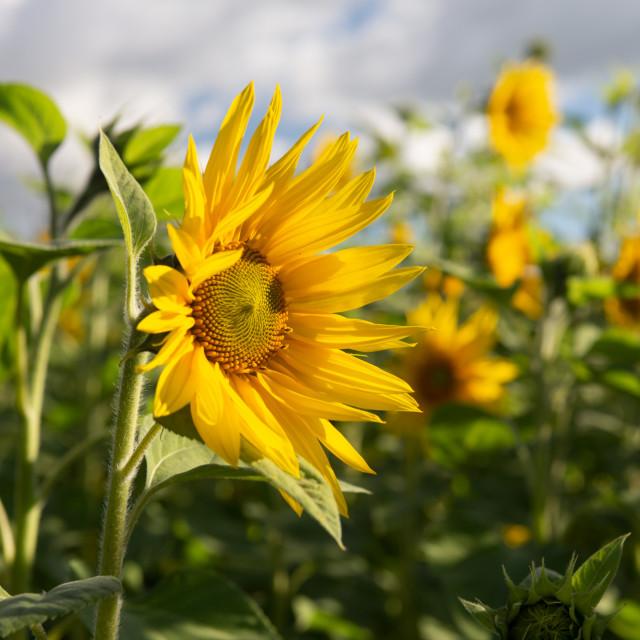 """I'm a sunflower"" stock image"
