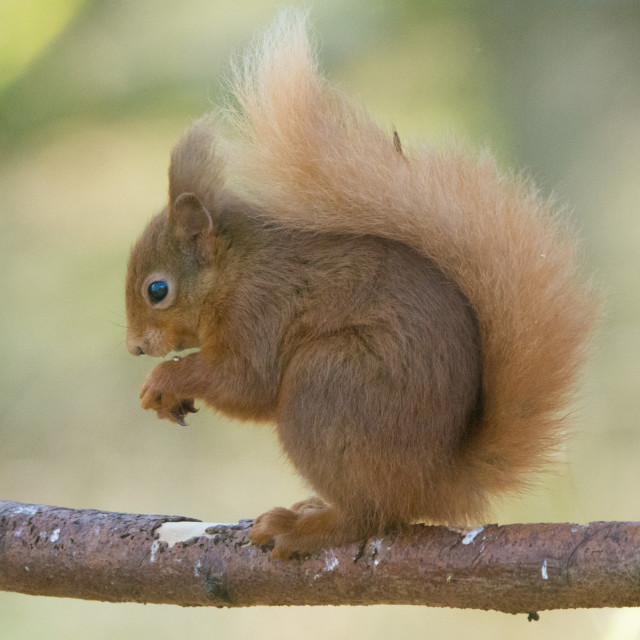 """""""Young Red Squirrel"""" stock image"""