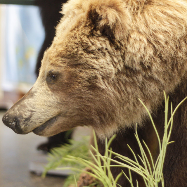 """stuffed grizzly in a nature center"" stock image"