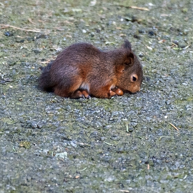 """""""Baby red squirrel"""" stock image"""