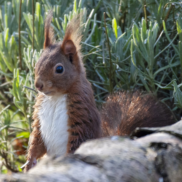 """""""Red squirrel"""" stock image"""