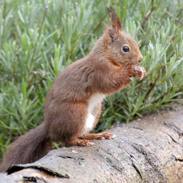 """Red Squirrel Profile"" stock image"