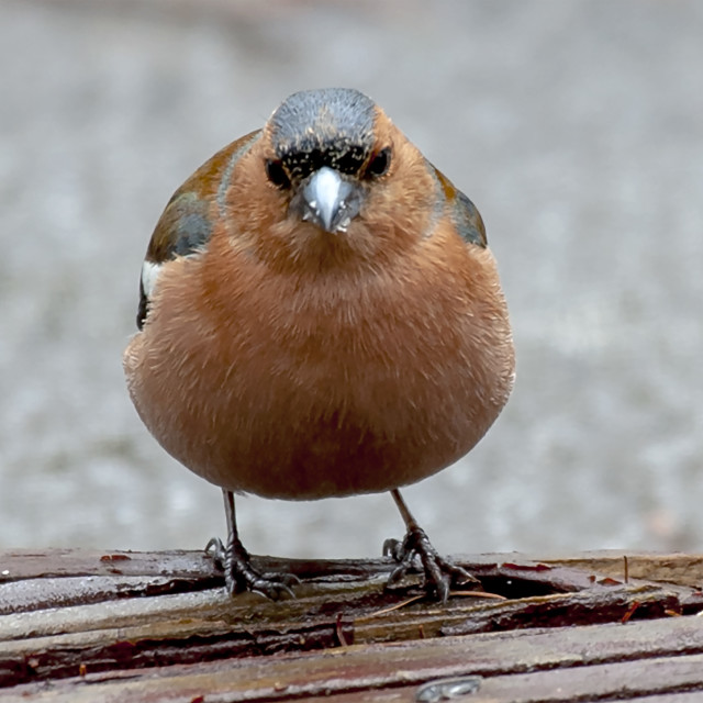 """""""Male Chaffinch"""" stock image"""