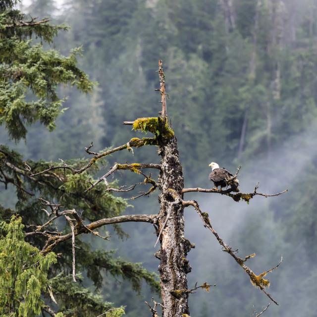 """""""Adult bald eagle, Haliaeetus leucocephalus, Misty Fjords National Monument,..."""" stock image"""