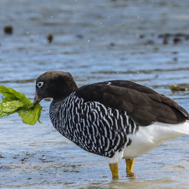 """Adult female kelp goose, Chloephaga hybrida, feeding on kelp at low tide at..."" stock image"