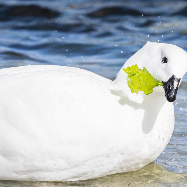 """Adult male kelp goose, Chloephaga hybrida, feeding on kelp at low tide at..."" stock image"