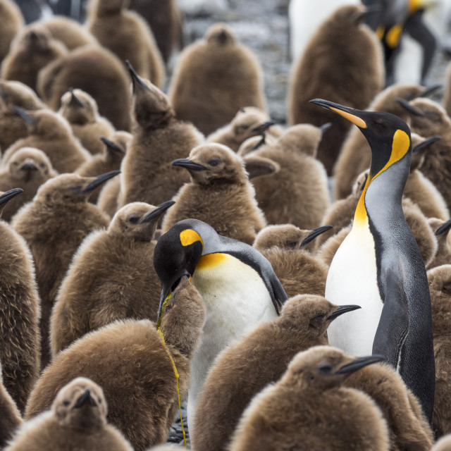 """Adult king penguins, Aptenodytes patagonicus, amongst chicks at Salisbury..."" stock image"
