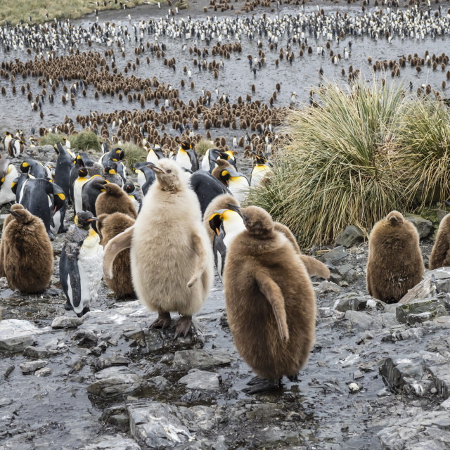 """Leucistic king penguin chick, Aptenodytes patagonicus, at breeding colony on..."" stock image"