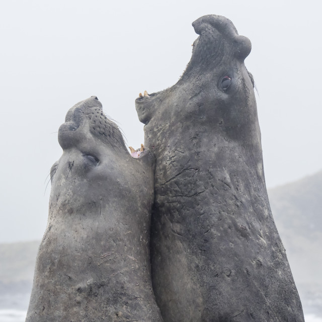 """Adult bull southern elephant seals, Mirounga leonina, fighting for territory..."" stock image"