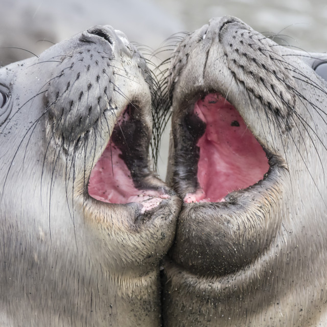 """Male southern elephant seal pups, Mirounga leonina, mock fighting in Gold..."" stock image"