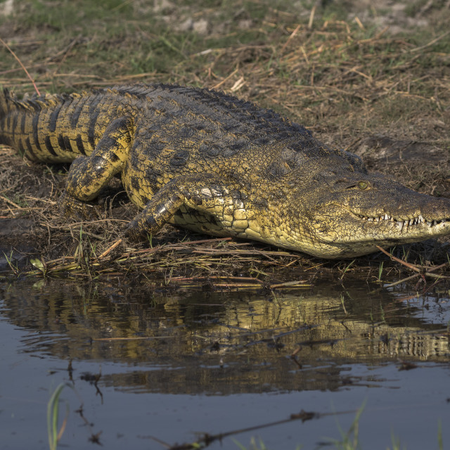 """Nile crocodile (Crocodylus niloticus), Chobe river, Botswana"" stock image"