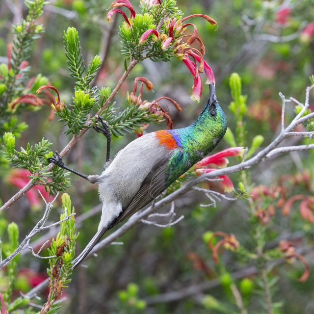 """Southern doublecollared sunbird (Cinnyris chalybeus) feeding, Kirstenbosch..."" stock image"