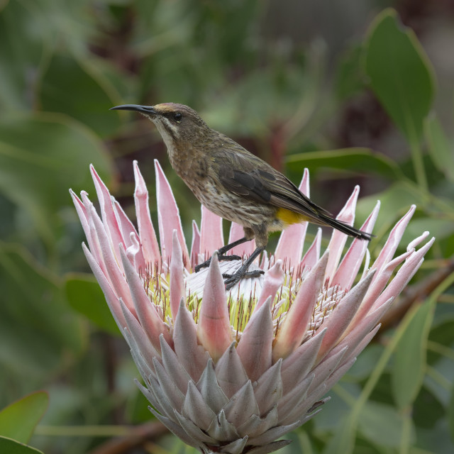 """""""Cape sugarbird (Promerops cafer) on king protea, Kirstenbosch National..."""" stock image"""