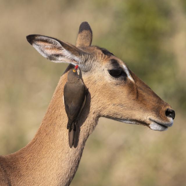 """Redbilled oxpecker (Buphagus erythrorhynchus) on impala (Aepyceros melampus),..."" stock image"