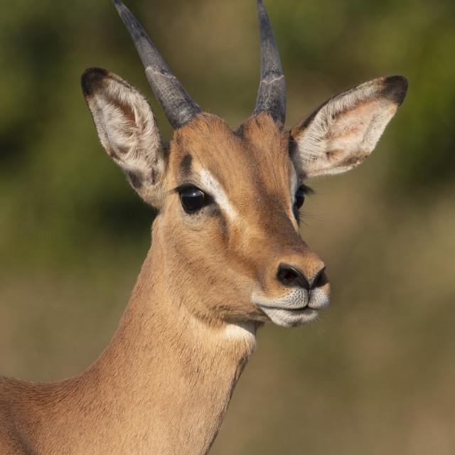 """""""Impala (Aepyceros melampus) sub-adult male, iMfolozi game reserve,..."""" stock image"""