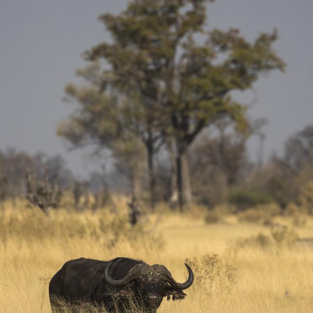 """""""Cape buffalo (Syncerus caffer), Khwai Conservancy, Botswana"""" stock image"""