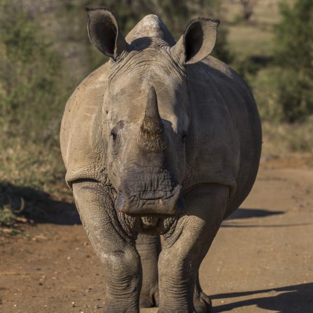"""""""White rhino (Ceratotherium simum), iMfolozi game reserve, KwaZulu-Natal,..."""" stock image"""