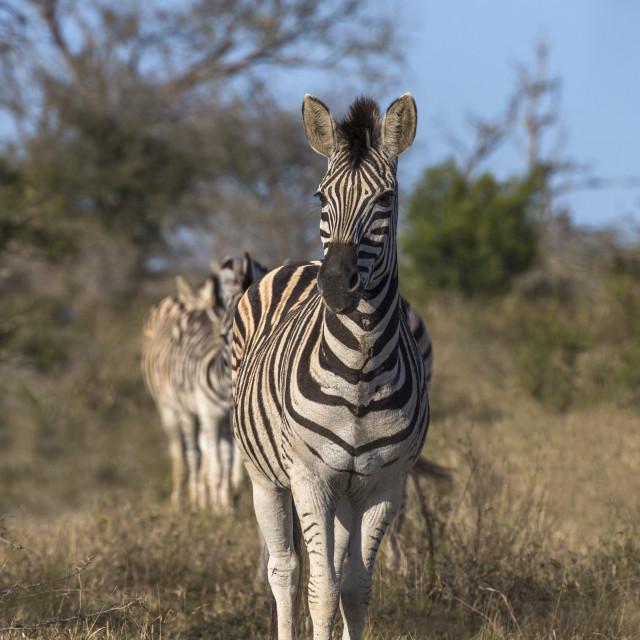 """""""Plains zebra (Equus quagga), iMfolozi game reserve, KwaZulu-Natal, South Africa,"""" stock image"""