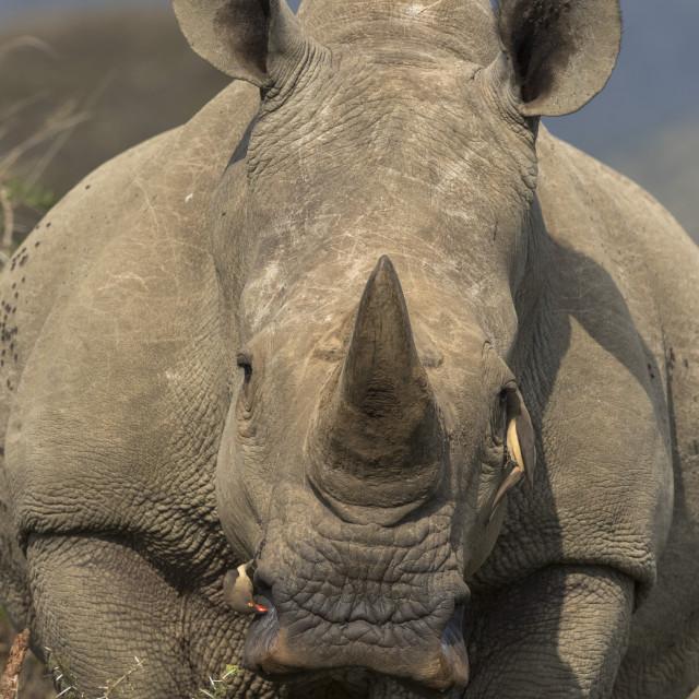 """White rhino (Ceratotherium simum) with redbilled oxpeckers, iMfolozi game..."" stock image"
