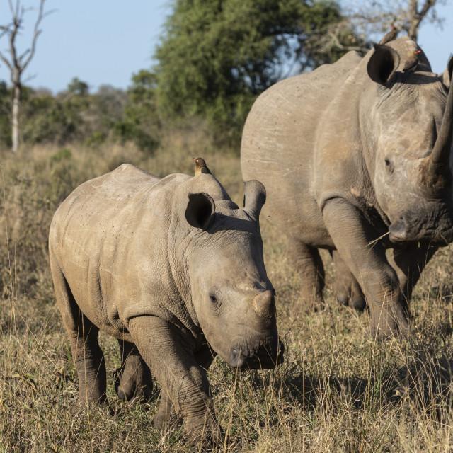 """""""White rhinos (Ceratotherium simum), iMfolozi game reserve, KwaZulu-Natal,..."""" stock image"""