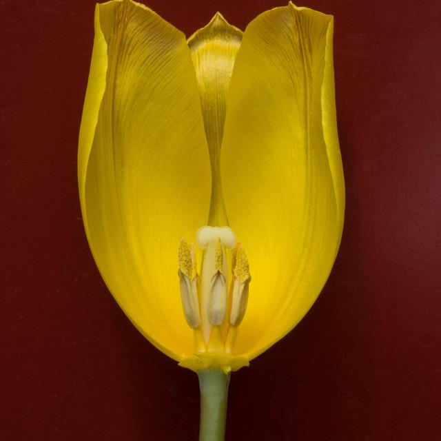 """Half yellow tulip"" stock image"