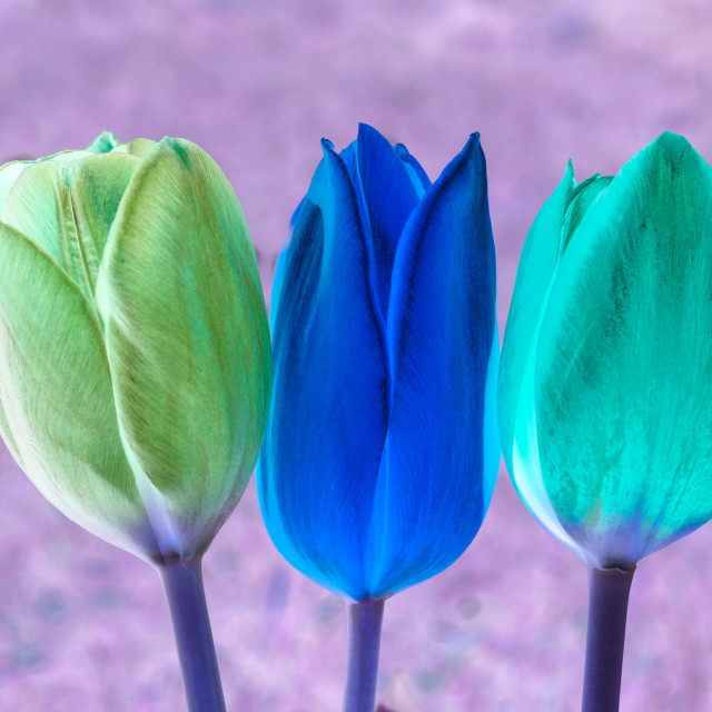 """3 Tulips"" stock image"