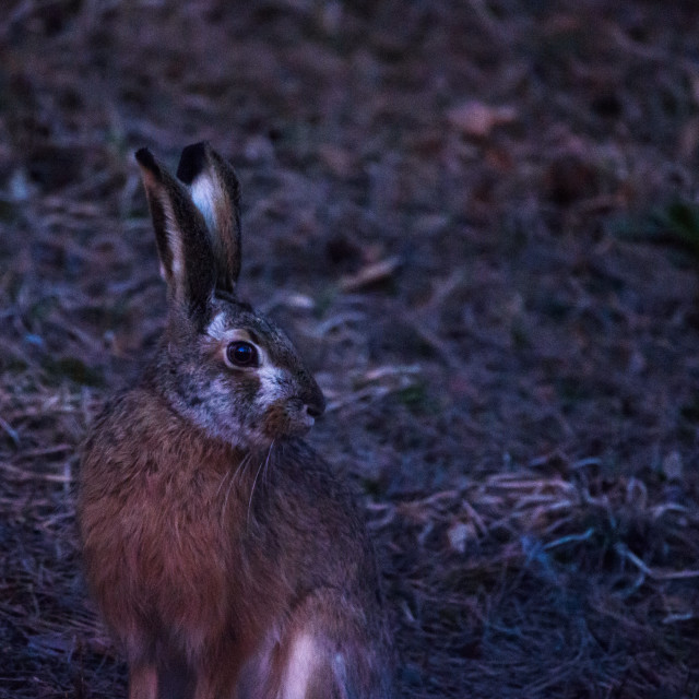 """European hare (Lepus europaeus) after sunset."" stock image"