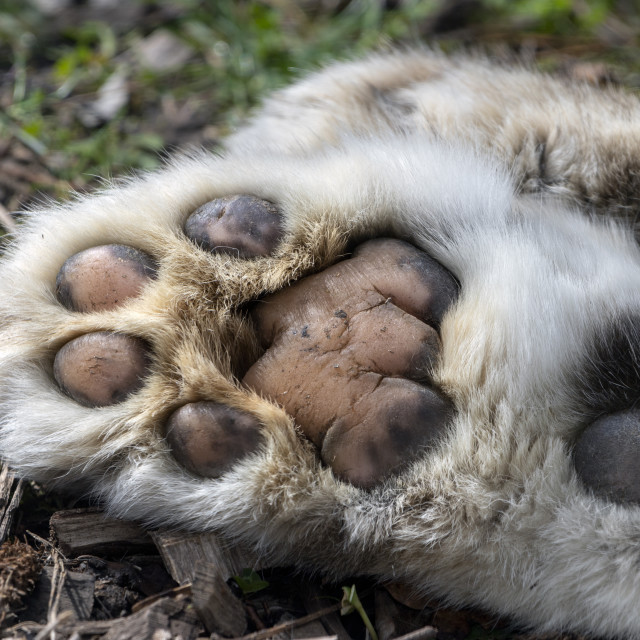 """""""Hind paw of ten-year-old male snow leopard"""" stock image"""