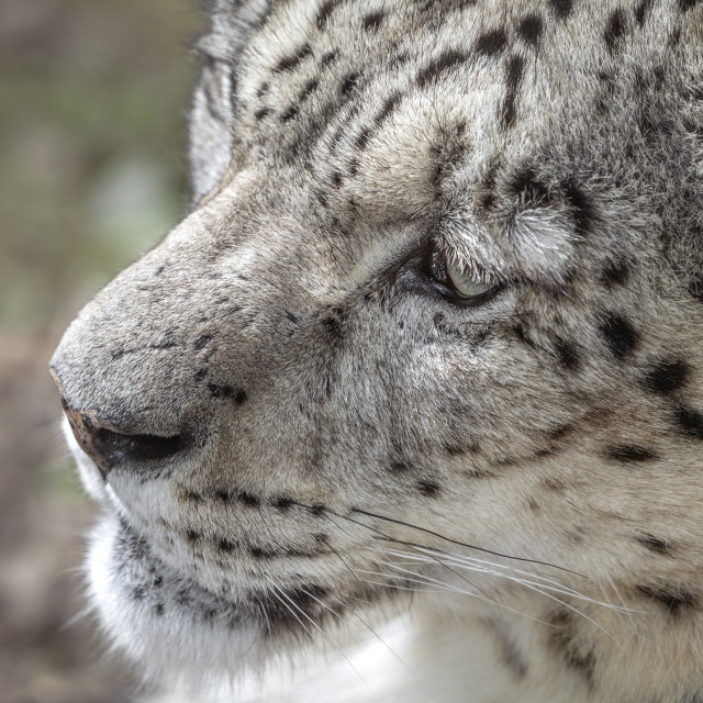 """""""Male snow leopard (close-up)"""" stock image"""
