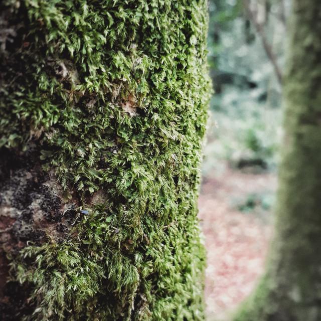 """Tree Moss"" stock image"