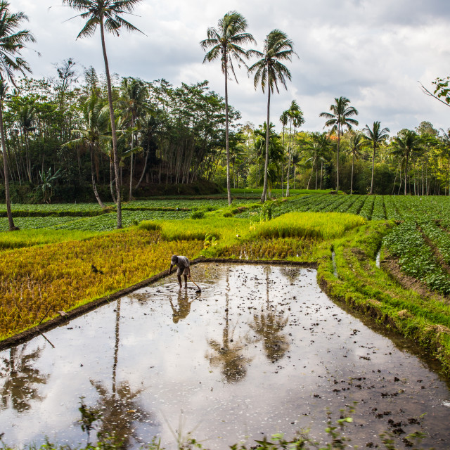 """""""A man working in the rice fields in Java, Indonesia"""" stock image"""